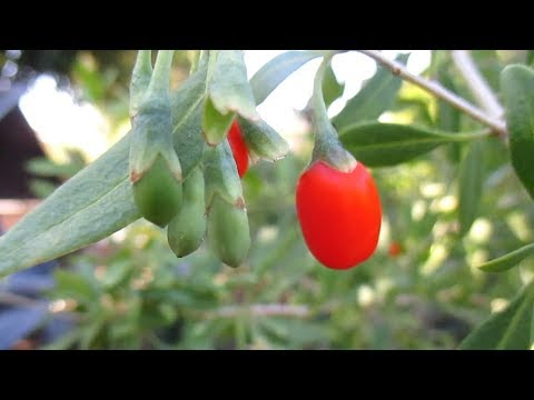 How To Grow A Goji Berry Tree In Your Garden Dengarden