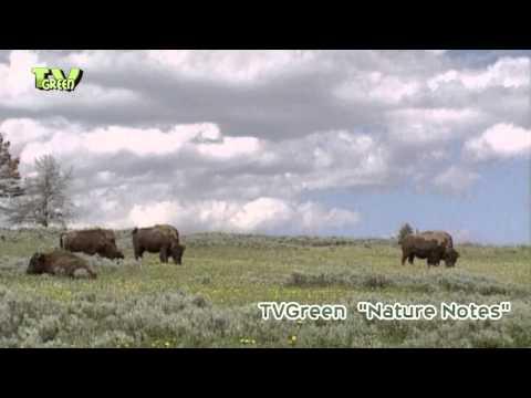Yellowstone National Park #08 bison - buffalo