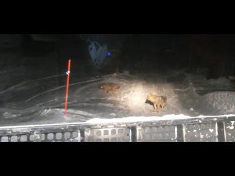 Il lupo attraversa la strada al gatto delle nevi