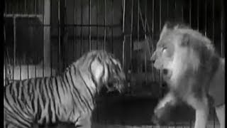 Tiger vs Lion - Ultimate Killer Vs The Ultimate Warrior