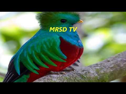 Top 48 List Quetzal Birds! Resplendent Quetzal Bird! Most Beautiful American Quetzal Birds #48