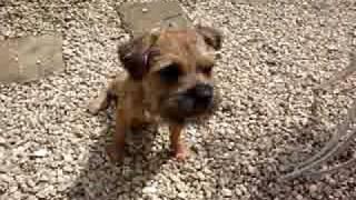 Parker The Border Terrier Eating Chips.