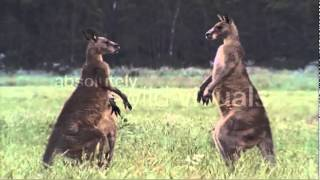 Kangaroo: Largest Marsupial Animal In The World