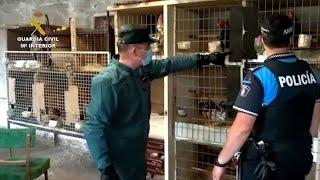 Seis investigados por maltrato de gallos de pelea en Valladolid