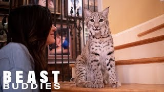 we-share-our-home-with-two-bobcats-beast-buddies