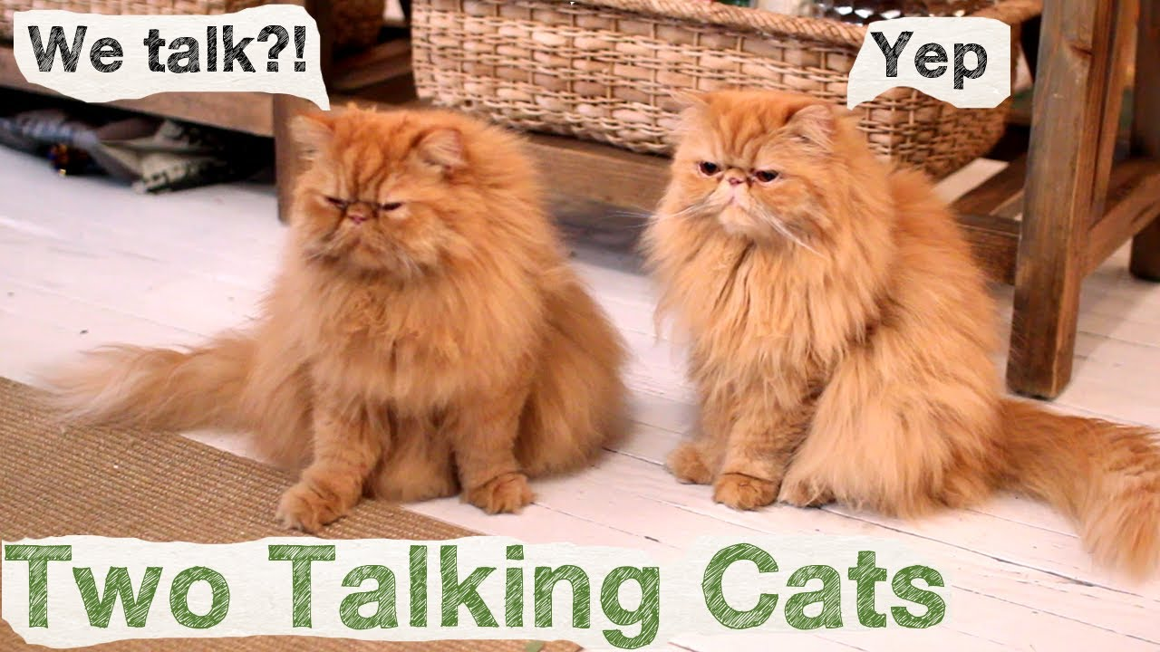 Two Talking Cats Conversation Cats 1 Youtube
