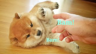 he-learn-to-play-ded-shiba-inu-puppies