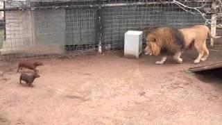 León juega con su manada de perros thumbnail