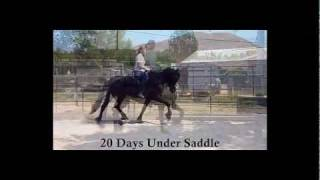 Friesian Filly for Sale:  Anyanka CK Riding 20 Days