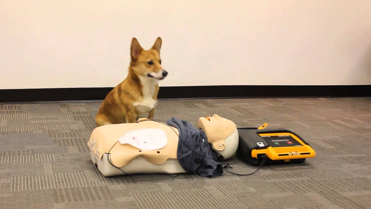 Canine Lifesaver Cpr Workshop Training A Dog To Learn Rescue