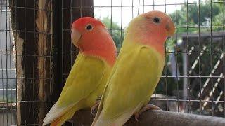 Lovebird breeder pair ready to breed 03459442750 Zain Ali Farming in Pakistan