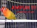 Ngekek Panjang Lovebird Kusno Sangat Cocok Untuk Masteran  Mp3 - Mp4 Download