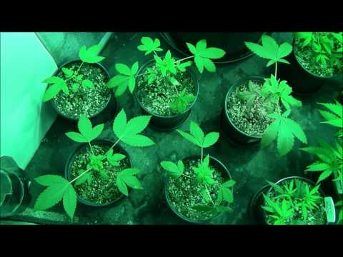 DNA's Pure  Afghani~ Watching the Plants Grow~ (Part One) Topping and Transplanting.wmv