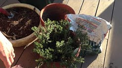How to Grow Thyme in a Pot - Best 4 Tips