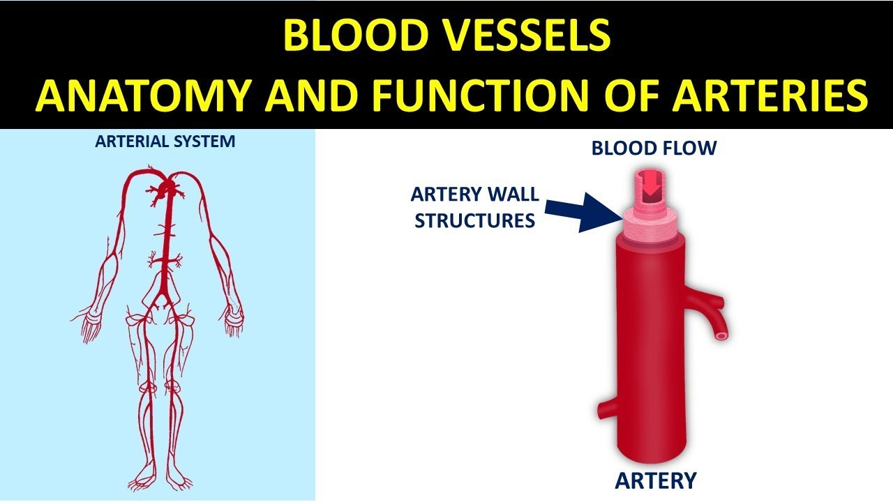 Blood Vessels Anatomy And Function Of Arteries Youtube