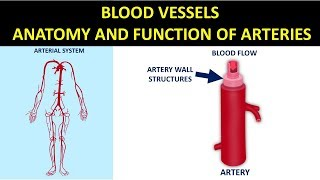 Blood Vessels - Anatomy and Function of Arteries
