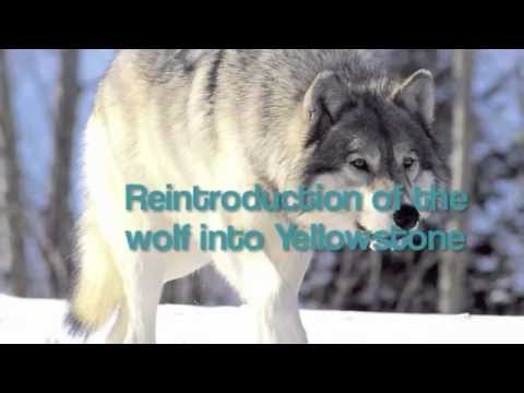 Reintroduction of the wolves into Yellowstone