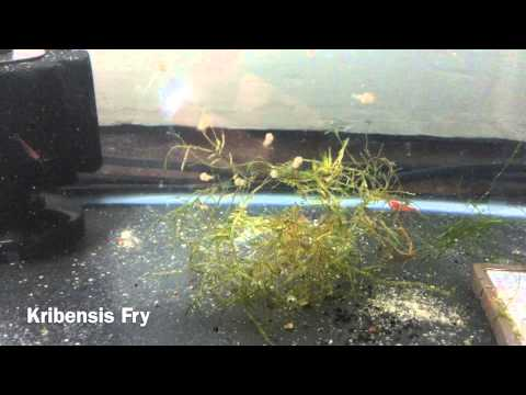 10 easiest fish to breed care for youtube for Easiest fish to take care of