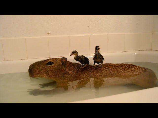 Capybara Island!
