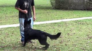 German Shepherd Obedience Games- 6mo Drakkar