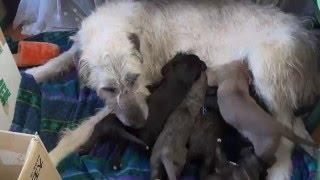 優しいアイリッシュウルフハウンドのお母さんが、子犬たちの面倒をみて...