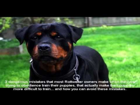 purebred-rottweiler-puppies-for-sale-price