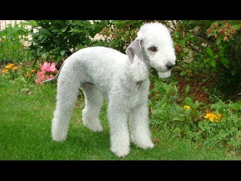 10 of World's Rarest Dog Breeds - YouTube