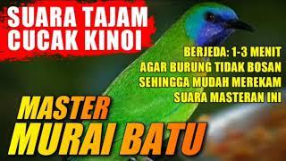 Burung Master Murai Batu Suara Cucak Kinoi Berjeda 1 3 Menit Youtube