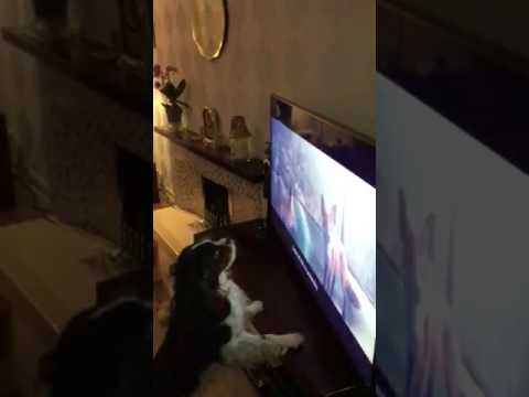 King Charles cavalier reaction to John Lewis Christmas advert 2016