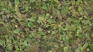 Unkraut Wildkraut aus dem Rasen entfernen | Rasenpflege im Mai 2017
