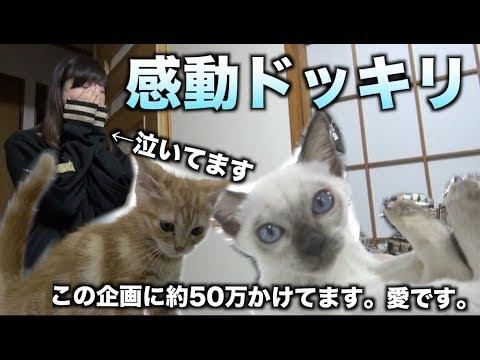 【涙線崩壊】飼えなかったあの猫が家にいたらドッキリ!約50万かかった企画です。バカです。
