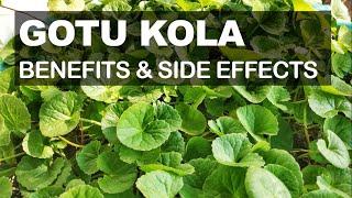 Gotu Kola Health Benefits And Possible Side Effects