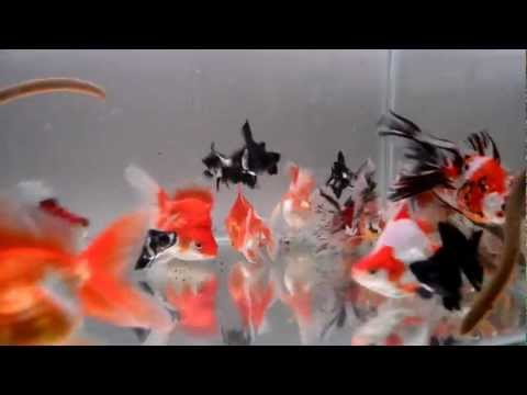 Calico Ryukin Goldfishes And Panda Moors