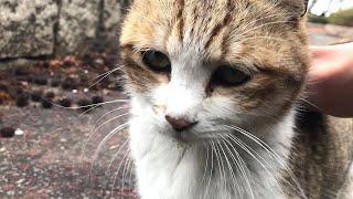かまって欲しくてたまらない小キジ猫 かわいい猫動画 ナデナデ大好きな...