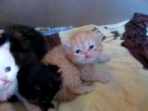 Gatitos persas de 3 semanas youtube - Fundas para unas de gato ...