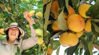 Hồng giòn đầu mùa, quýt, bưởi, táo trong vườn nhà ở Mỹ