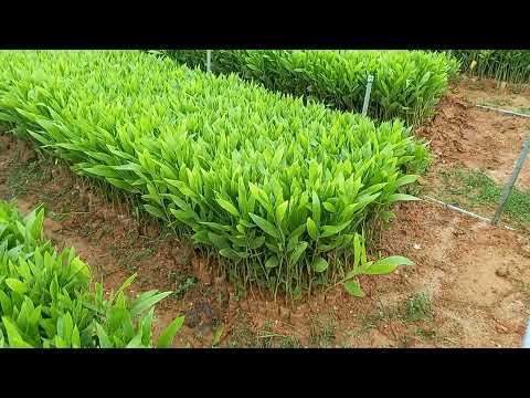 Nhà vườn chuyên cung cấp cây keo con giâm hom giống, cây keo giống ươm hạt. ĐT : 0373.510.406