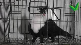 حمام الشيخشلي من حمام الكش نوعية حلوة وخفيفة بالطيران | bird pigeons