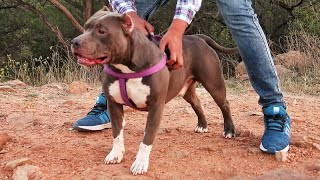 CHEAPEST DOG MARKET | WHOLESALE,RETAIL | DOGS IN CHEAP PRICE ( Pitbull)