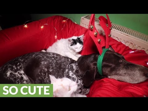 Cat gives massage to canine friend on Christmas