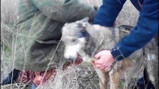 Спасение собаки. Лайка