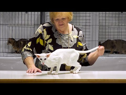 CFA International Cat Show 2017 - Championship Orientals