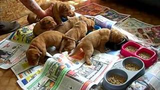 Dogue De Bordeaux, Fifi De Bleu's Pups Early Days Feeding...