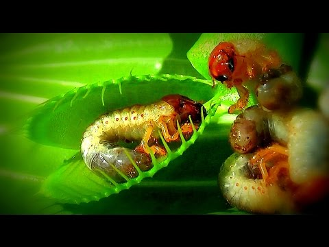 NO RETURN / Venus flytrap - Venusfliegenfalle