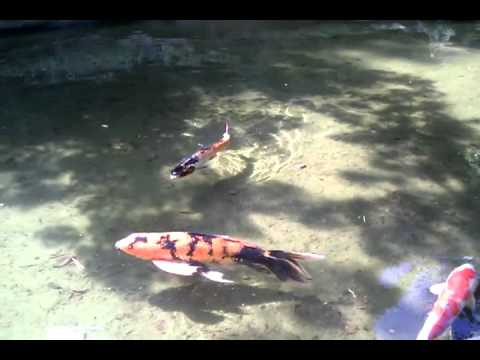 Amazing massive butterfly koi fish at huntington gardens for Amazing koi fish