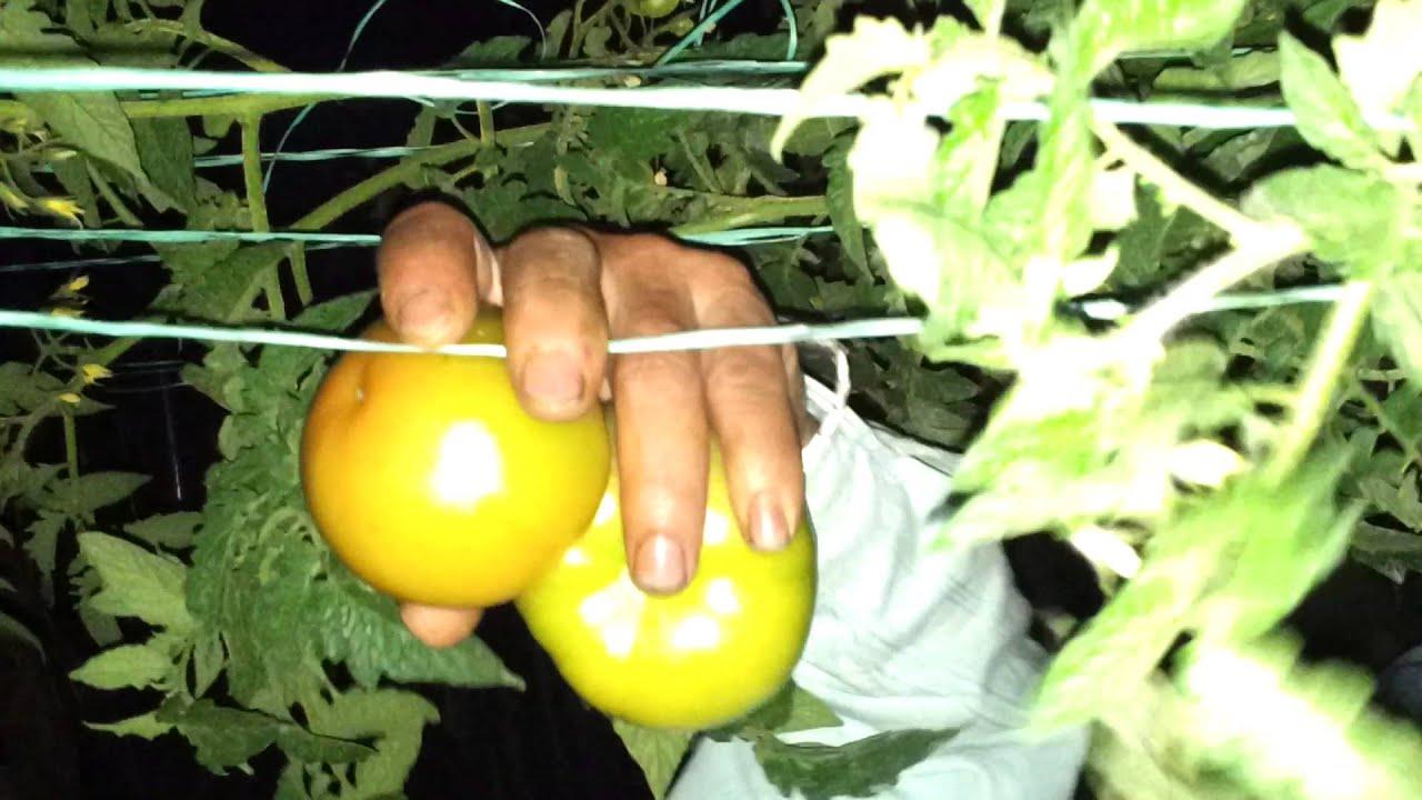 Circuito Productivo Del Tomate : Cadena productiva del tomate youtube