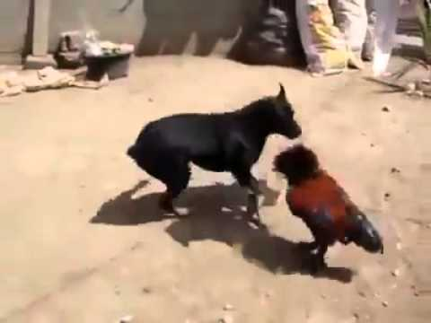 Aseel chicken vs a dog