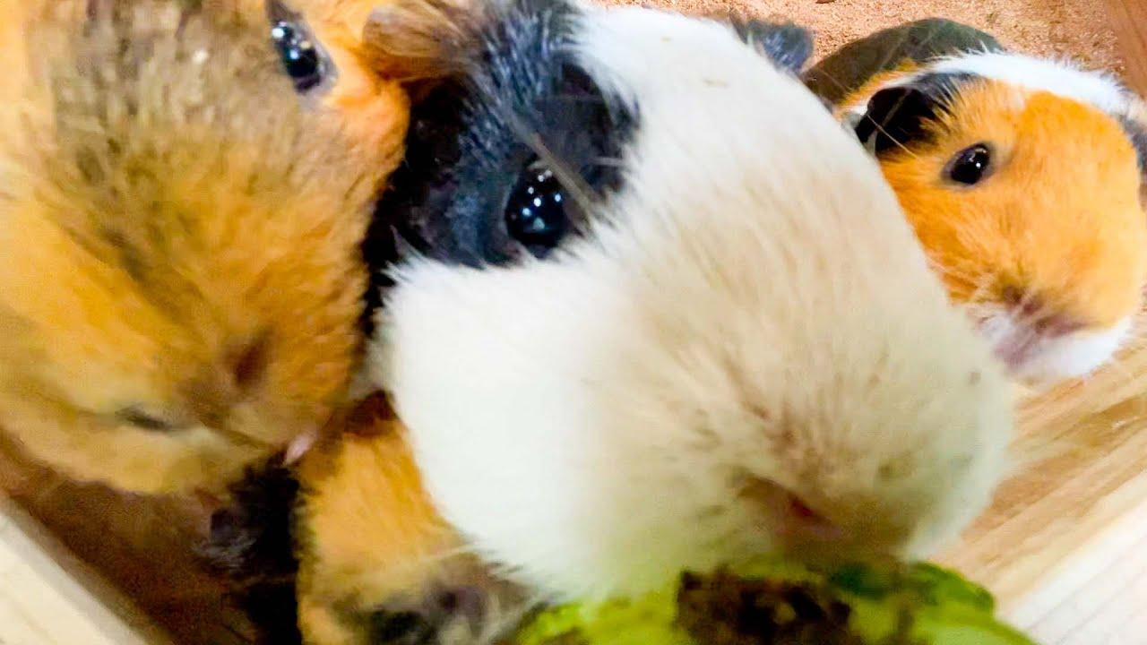 スイカに押し寄せるモルが大渋滞!【モルモット】Guinea pig eat thinned watermelon