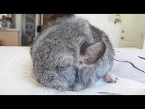 Cute Baby Chinchilla Noises!