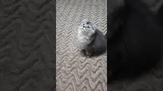 Шотландские котята.Продажа .Екатеринбург.